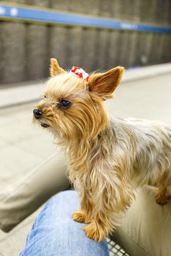 Χαριτωμένος λίγο σκυλί με ένα τόξο στην τρίχα του στοκ φωτογραφίες