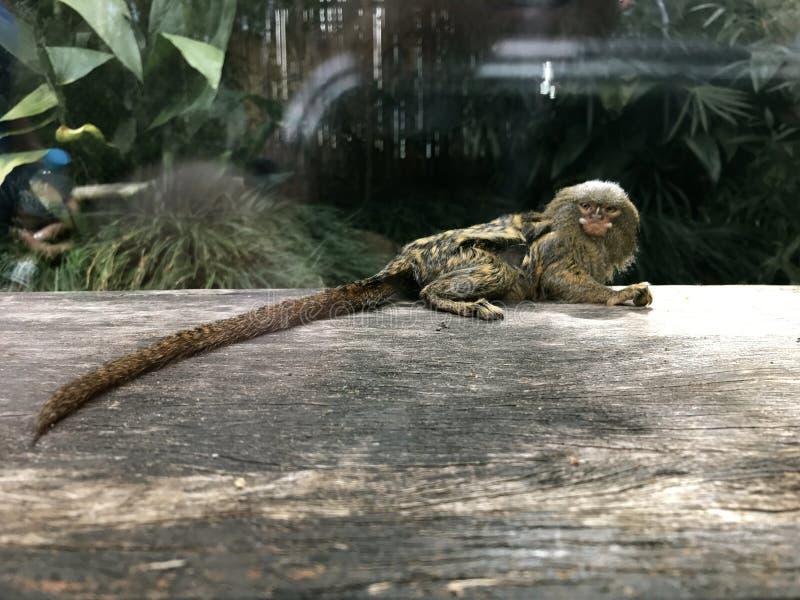 Χαριτωμένος μικροσκοπικός Pygmy πίθηκος στοκ εικόνες με δικαίωμα ελεύθερης χρήσης