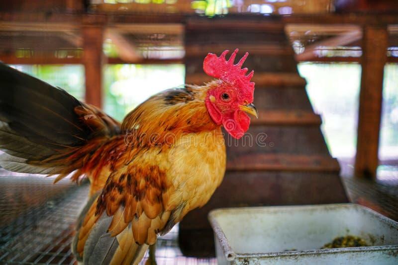 Χαριτωμένος μικρός κόκκορας στοκ φωτογραφία με δικαίωμα ελεύθερης χρήσης