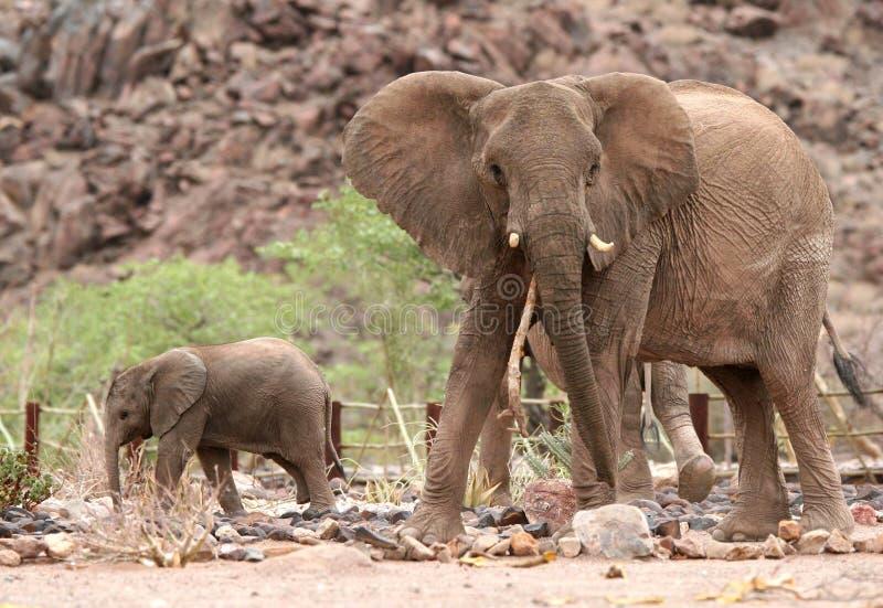 Χαριτωμένος μόσχος ελεφάντων με την αγελάδα ελεφάντων στοκ εικόνες
