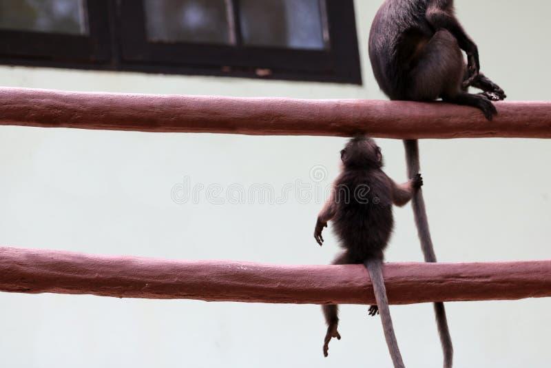 Χαριτωμένος πίθηκος που κρατά την ουρά μητέρων, σκοτεινή άγρια φύση langur σε Tha στοκ εικόνες με δικαίωμα ελεύθερης χρήσης