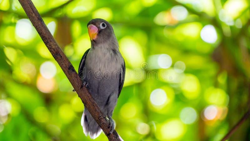 Χαριτωμένος παπαγάλος στις τροπικές δασικές Μαλδίβες άγριο δάσος τραγουδιού φύσης αγάπης αγριόγαλλων στοκ φωτογραφίες με δικαίωμα ελεύθερης χρήσης