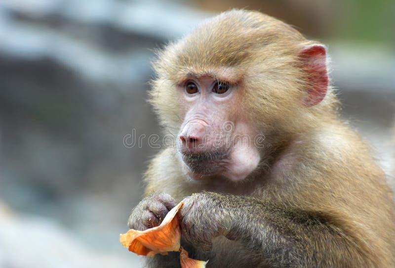χαριτωμένος τρώγοντας πίθηκος στοκ εικόνες