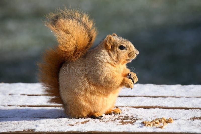 χαριτωμένος τρώγοντας σκίουρος στοκ φωτογραφία με δικαίωμα ελεύθερης χρήσης