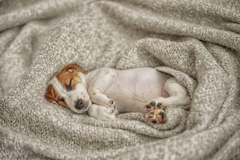 Χαριτωμένος ύπνος σκυλιών του Russell γρύλων κουταβιών κάτω από το κάλυμμα μαλλιού στοκ φωτογραφία