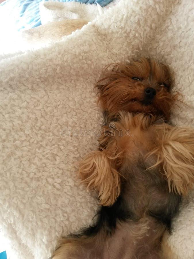 Χαριτωμένος ύπνος yorkie στοκ φωτογραφία