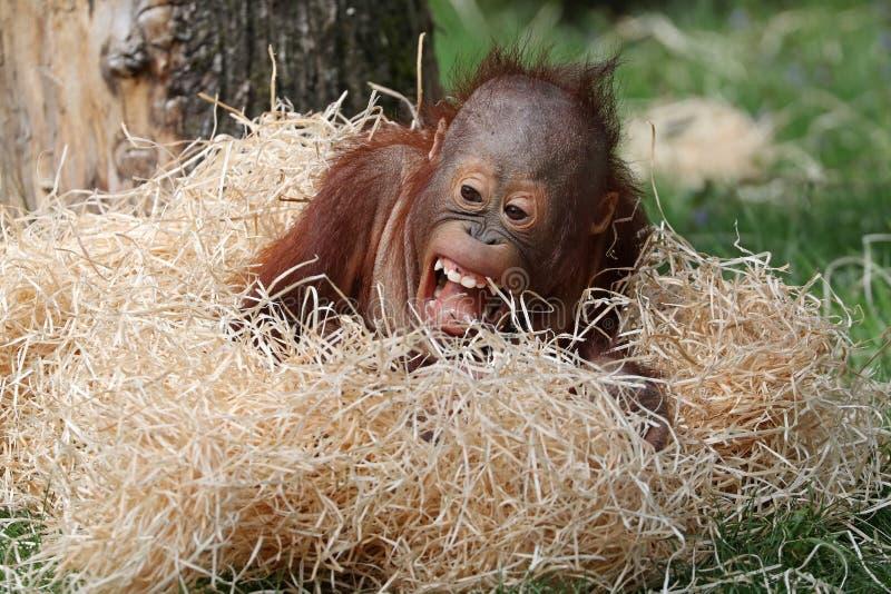 χαριτωμένος orangutan μωρών στοκ φωτογραφίες