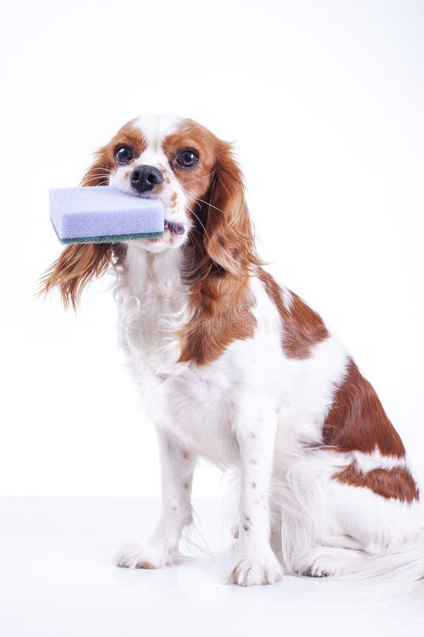 Χαριτωμένο αλαζόνας κουτάβι σκυλιών σπανιέλ Charles βασιλιάδων στο απομονωμένο άσπρο υπόβαθρο στούντιο Κουτάβι σκυλιών με τον καθ στοκ εικόνα