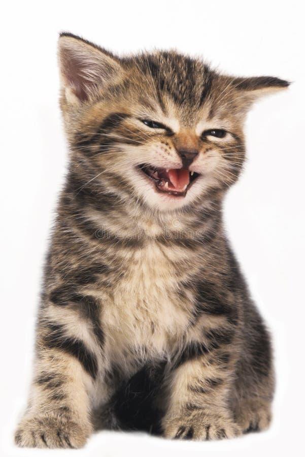 Χαριτωμένο βρετανικό γατάκι shorthair που απομονώνεται στοκ φωτογραφία