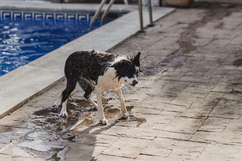 χαριτωμένο γραπτό κόλλεϊ συνόρων ένα χαριτωμένο παιχνίδι σκυλιών στη λίμνη και να περάσει καλά κατά τη διάρκεια των διακοπών θερι στοκ εικόνες