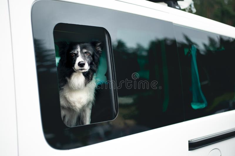 Χαριτωμένο γραπτό σκυλί που κοιτάζει από το παράθυρο αυτοκινήτων Γραπτό κόλλεϊ συνόρων στο αυτοκίνητο στοκ εικόνα