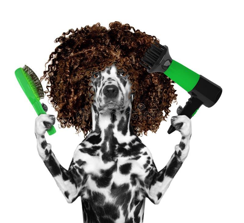 Χαριτωμένο δαλματικό σκυλί στο σαλόνι καλλωπισμού SPA Απομονωμένος στο λευκό στοκ εικόνα
