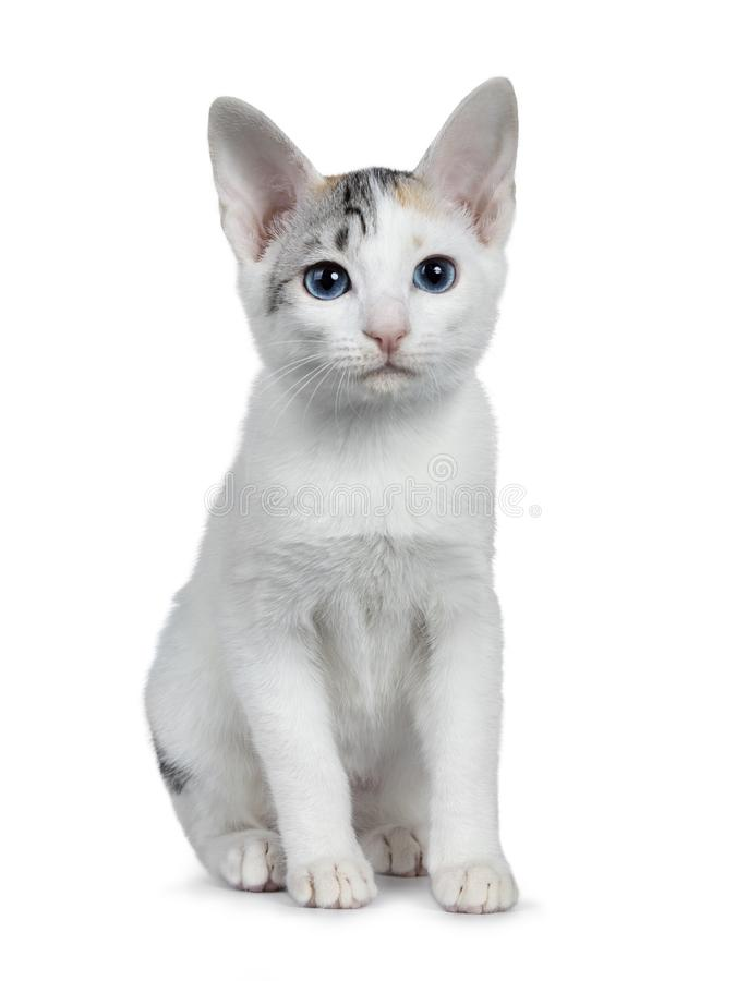 Χαριτωμένο διαμορφωμένο ασήμι shorthair ιαπωνικό γατάκι γατών Bobtail, που απομονώνεται στο άσπρο υπόβαθρο στοκ εικόνες