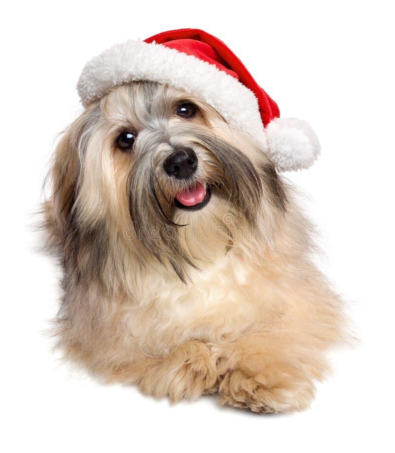Χαριτωμένο ευτυχές σκυλί Havanese Χριστουγέννων σε ένα καπέλο Santa στοκ εικόνα