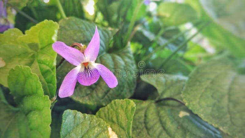 Χαριτωμένο ιώδες λουλούδι στοκ εικόνες με δικαίωμα ελεύθερης χρήσης