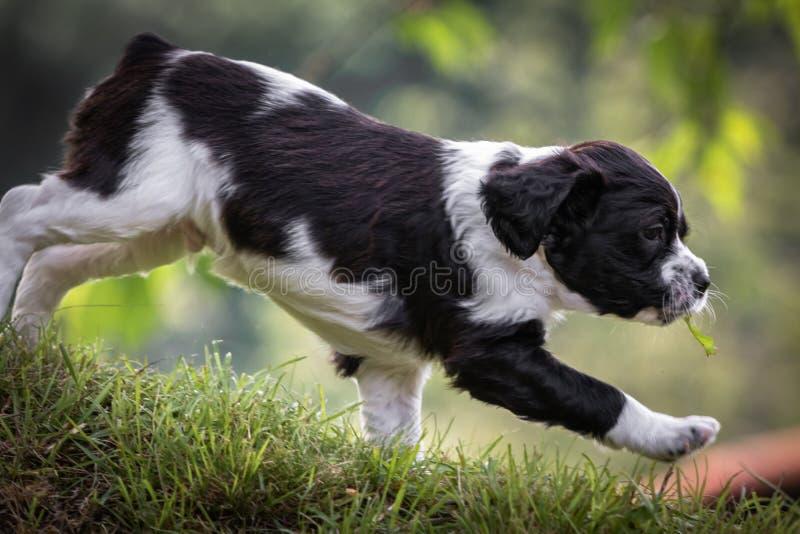 Χαριτωμένο και περίεργο γραπτό πορτρέτο κουταβιών σκυλιών σπανιέλ της Βρετάνης μωρών που τρέχει στο λιβάδι στοκ εικόνα