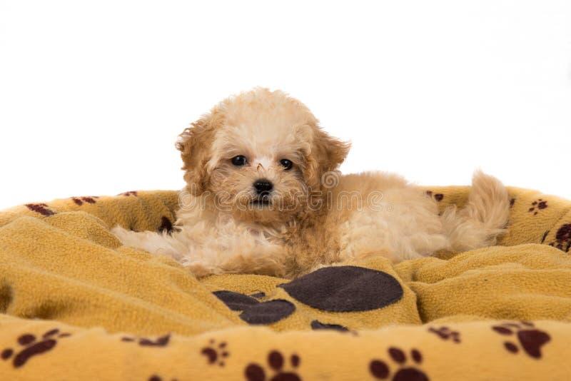 Χαριτωμένο και περίεργο poodle κουτάβι που στηρίζεται στο κρεβάτι της στοκ φωτογραφία με δικαίωμα ελεύθερης χρήσης
