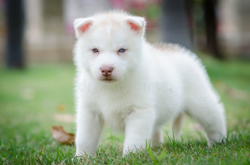 Χαριτωμένο κουτάβι μπλε ματιών στοκ φωτογραφία
