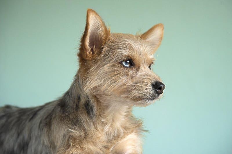 Χαριτωμένο κουτάβι σκυλιών μιγμάτων με ένα μάτι UEBL στοκ φωτογραφίες με δικαίωμα ελεύθερης χρήσης