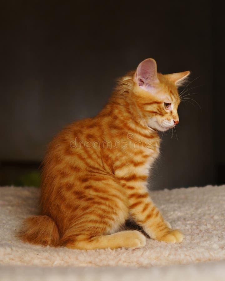 χαριτωμένο κόκκινο γατακιών στοκ εικόνες με δικαίωμα ελεύθερης χρήσης