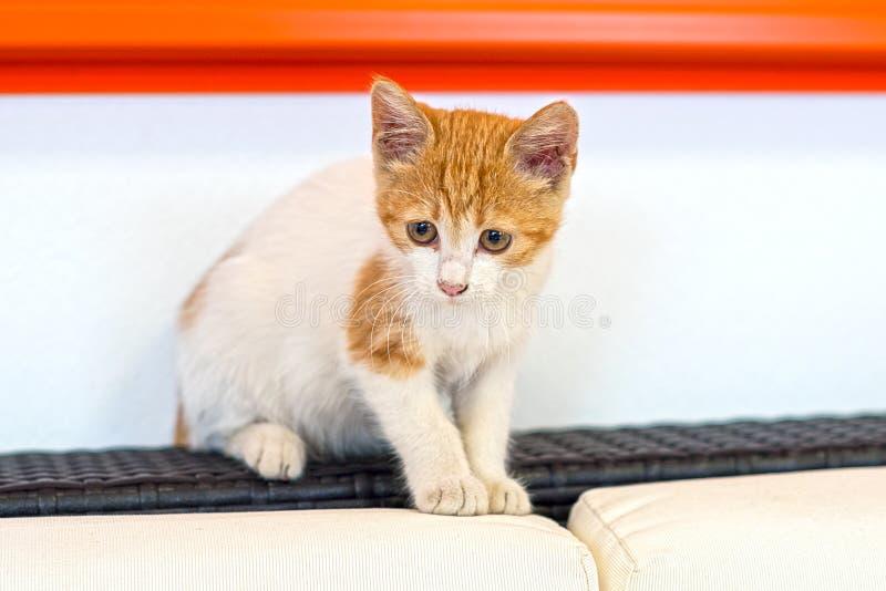 Χαριτωμένο κόκκινο ριγωτό και άσπρο παιχνίδι γατακιών γατών στοκ εικόνα