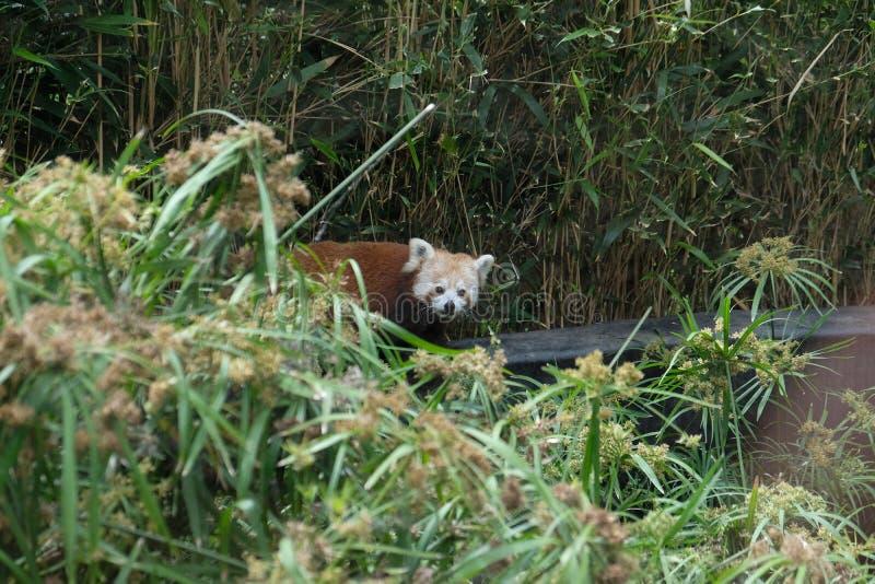 Χαριτωμένο κόκκινο panda που κρύβεται στο δάσος μπαμπού στην αιχμαλωσία στοκ εικόνα