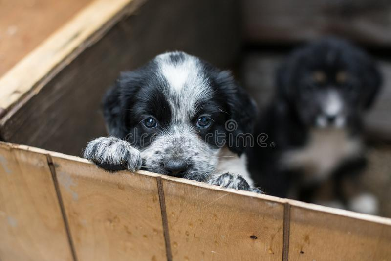 Χαριτωμένο λίγο κουτάβι σε ένα ξύλινο κιβώτιο ζητά να υιοθετηθεί με την ελπίδα Άστεγο σκυλί στοκ εικόνες με δικαίωμα ελεύθερης χρήσης