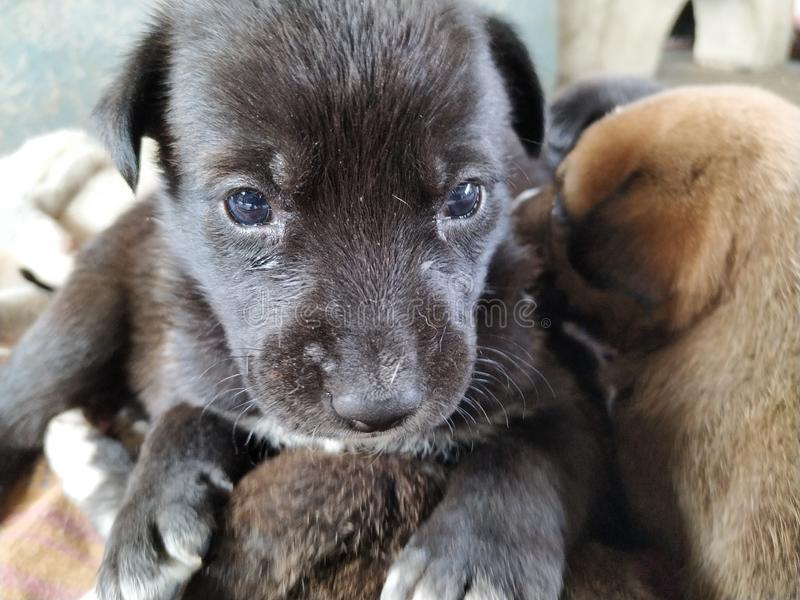 Χαριτωμένο μαύρο κουτάβι με τα όμορφα μπλε μάτια που κάθονται σε ένα άλλο κουτάβι στοκ εικόνες