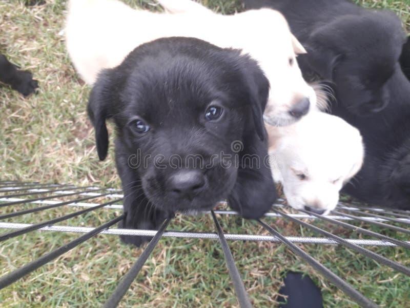 Χαριτωμένο μαύρο κουτάβι του Λαμπραντόρ που αναρριχείται στο φράκτη στοκ φωτογραφία με δικαίωμα ελεύθερης χρήσης