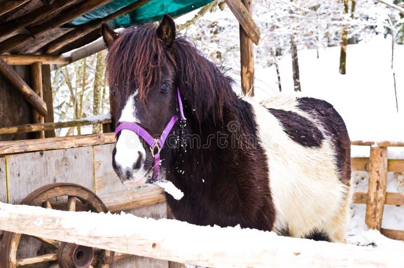 Χαριτωμένο μικρό άλογο πόνι χιονισμένο barnyard κοντά στη λίμνη Bohinj στοκ φωτογραφίες