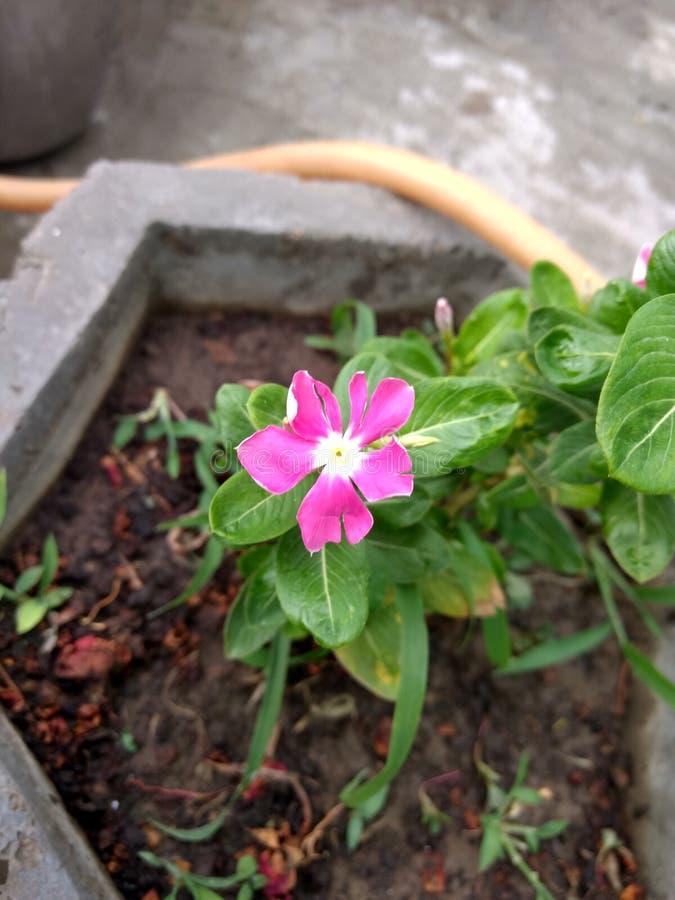 Χαριτωμένο μικρό ρόδινο λουλούδι στο δοχείο στοκ εικόνες
