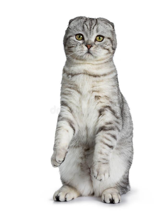 Χαριτωμένο νέο ασημένιο τιγρέ σκωτσέζικο γατάκι γατών πτυχών, που απομονώνεται στο άσπρο υπόβαθρο στοκ εικόνες