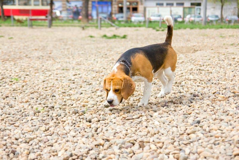 Χαριτωμένο νέο ρουθούνισμα λαγωνικών σκυλιών στοκ εικόνα με δικαίωμα ελεύθερης χρήσης