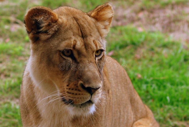 Χαριτωμένο να φανεί λιονταρίνα στοκ εικόνα