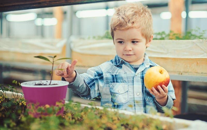 Χαριτωμένο ξανθό αγόρι που εξετάζει τις εγκαταστάσεις στο ρόδινο δοχείο κρατώντας το μεγάλο κίτρινο και κόκκινο μήλο Preschooler  στοκ εικόνα με δικαίωμα ελεύθερης χρήσης