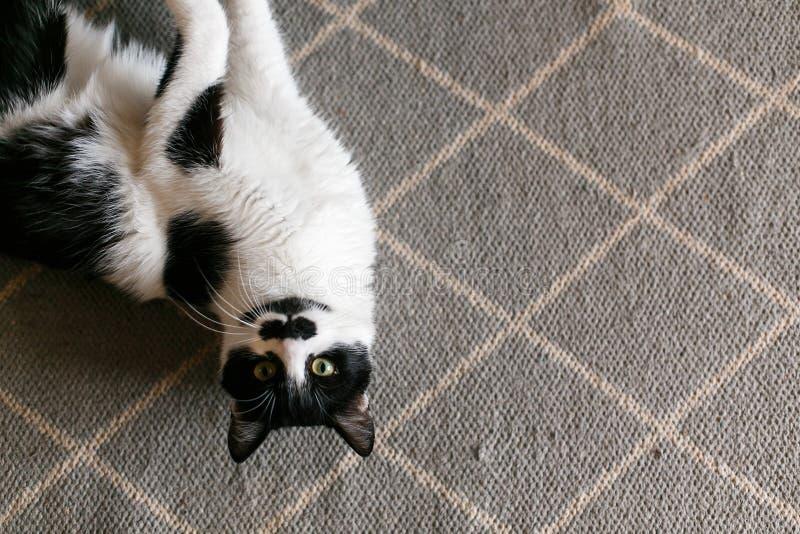Χαριτωμένο οκνηρό να βρεθεί γατών στη μοντέρνη κουβέρτα στην κουζίνα, τοπ άποψη Γλυκό γραπτό γατάκι με το mustache που στηρίζεται στοκ εικόνα