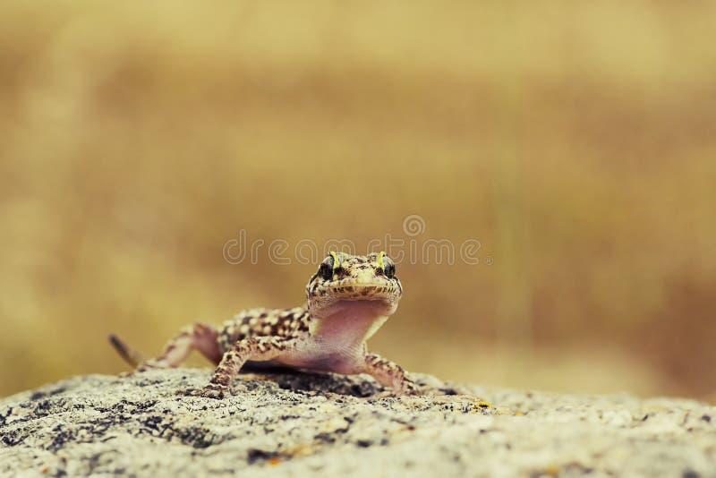 Χαριτωμένο περίεργο gecko στοκ εικόνες με δικαίωμα ελεύθερης χρήσης