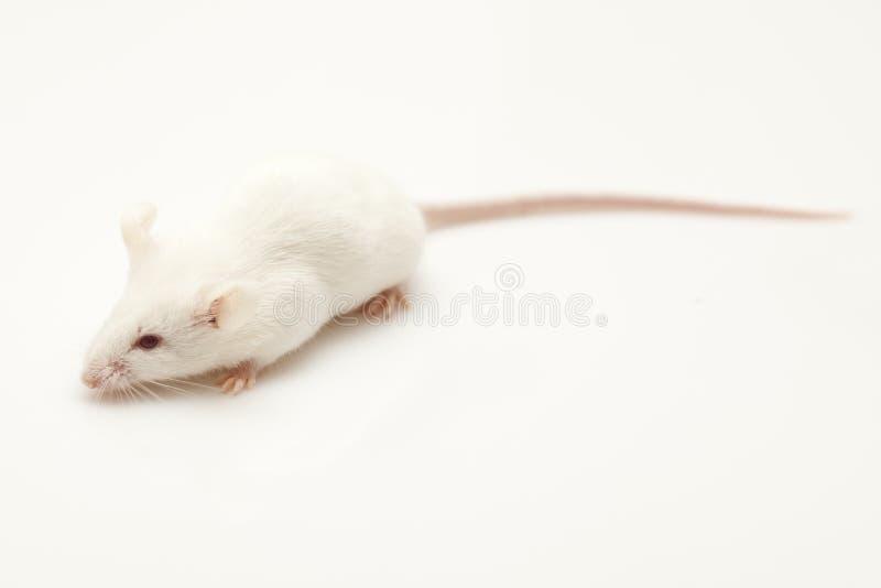χαριτωμένο ποντίκι στοκ εικόνες