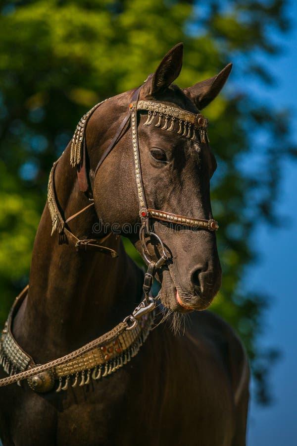 Χαριτωμένο σκοτεινό καφετί akhal άλογο teke με το ασημένιο halter στοκ φωτογραφία