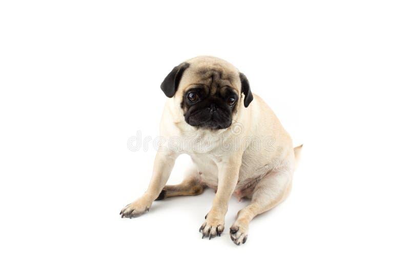 Χαριτωμένο σκυλάκι που δείχνει αθώος Πολύ λυπημένος σκύλος απομονωμένος στο λευκό στοκ φωτογραφία