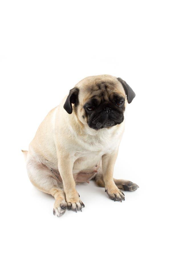 Χαριτωμένο σκυλάκι που δείχνει αθώος Πολύ λυπημένος σκύλος απομονωμένος στο λευκό στοκ φωτογραφίες