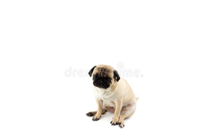 Χαριτωμένο σκυλάκι που δείχνει αθώος Πολύ λυπημένος σκύλος απομονωμένος στο λευκό στοκ εικόνες με δικαίωμα ελεύθερης χρήσης