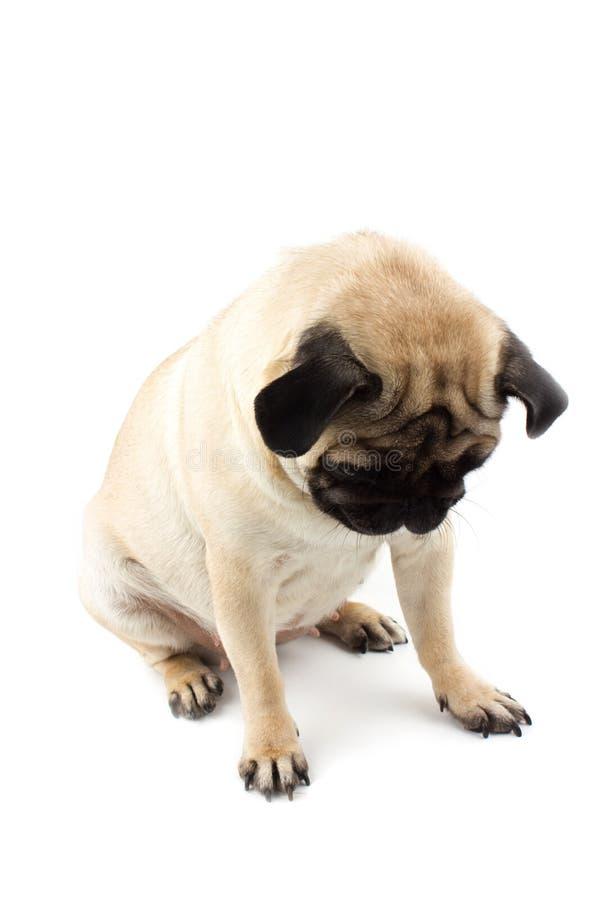Χαριτωμένο σκυλάκι που κοιτάζει κάτω Πολύ λυπημένος σκύλος απομονωμένος στο λευκό στοκ φωτογραφία