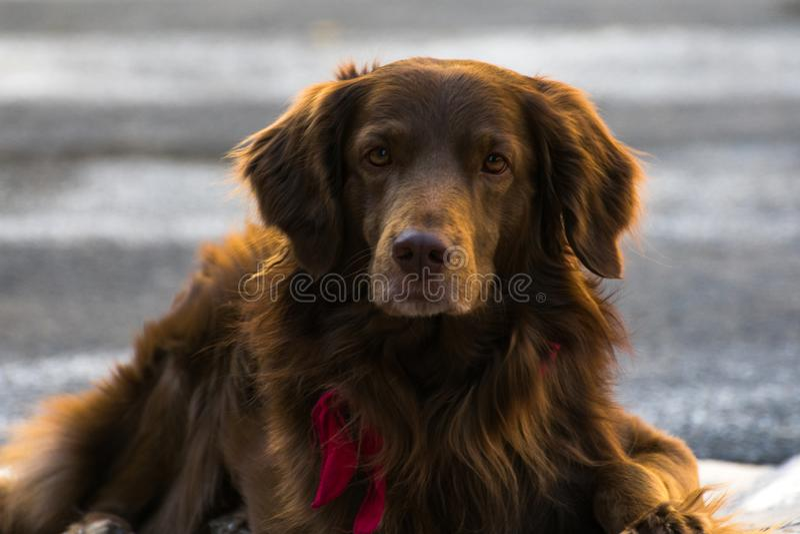 Χαριτωμένο σκυλί αγάπης που βάζει στο έδαφος που επιδιώκει την αγάπη και την αγάπη στοκ φωτογραφίες
