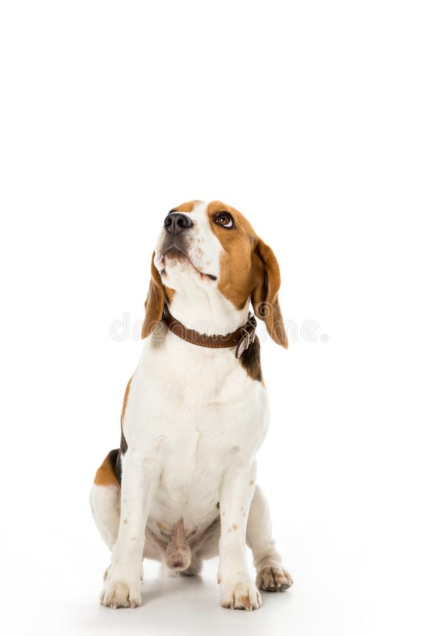 χαριτωμένο σκυλί λαγωνικών στο περιλαίμιο που κοιτάζει μακριά στοκ φωτογραφία