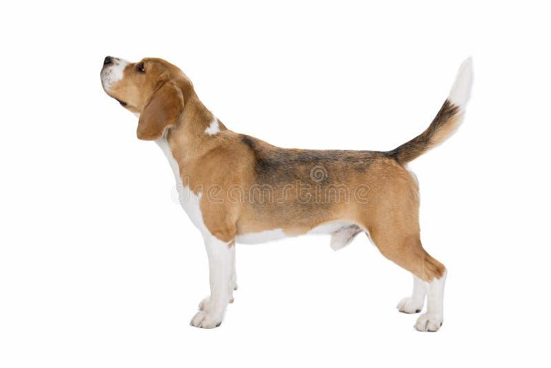 Χαριτωμένο σκυλί λαγωνικών στοκ φωτογραφία