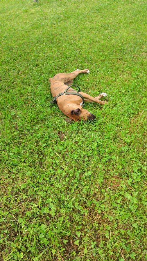 Χαριτωμένο σκυλί μπόξερ που στηρίζεται στη χλόη στοκ εικόνες