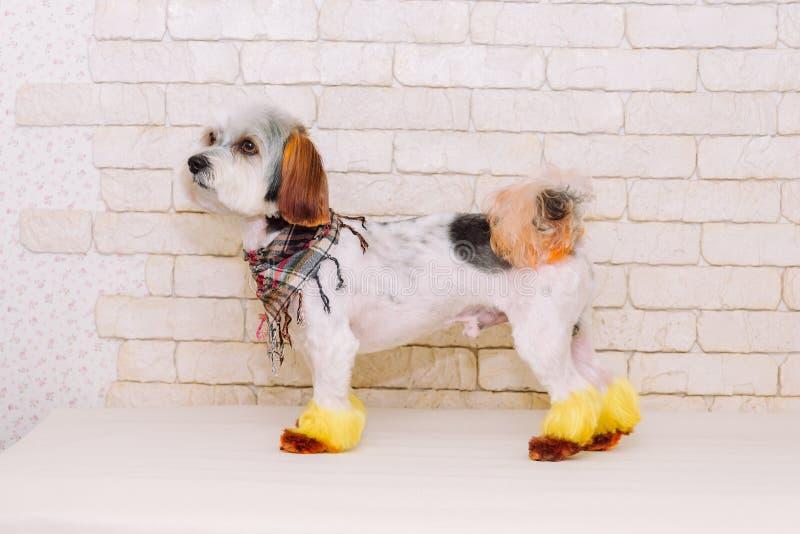 Χαριτωμένο σκυλί περιτυλίξεων με ένα δημιουργικό hairstyle μετά από να καλλωπίσει στο άσπρο υπόβαθρο τουβλότοιχος στοκ εικόνες