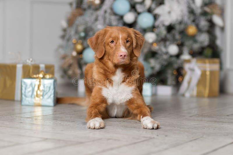 Χαριτωμένο σκυλί που περιμένει το νέο έτος στοκ εικόνες