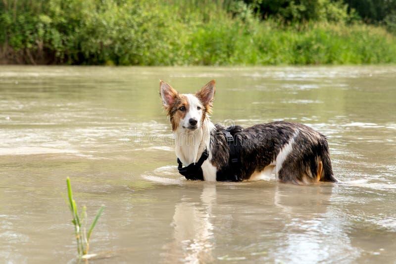Χαριτωμένο σκυλί που στέκεται σε έναν ποταμό ή μια λίμνη, υγρή γούνα, που δροσίζει στο wa στοκ εικόνα